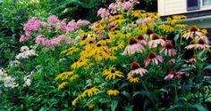 Nice blend of native plants:  Garden phlox, P. paniculata, left with purple coneflower and 'Goldsturm' rudbeckia