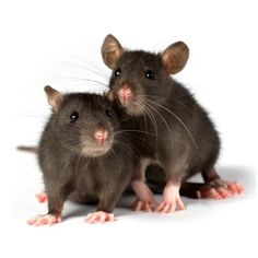 Яндекс.Картинки ❤ liked on Polyvore featuring animals and mice
