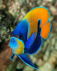Pomacanthus navarchus: blue-girdled angelfish