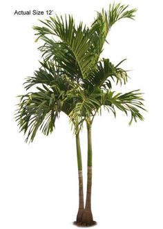 Double Stem Christmas - Welcome to your local online nursery, offering cheap and affordable wholesale discounted plants and palm trees, packaged and shipped around the world! RPT can help achieve your vacation resort in the comfort of your home with a great staff, full of ideas and landscape architects ready to design on any budget. Contact us at www.RealPalmTrees.com if you have questions about planting or installing or needing help importing or exporting fresh plants and palms!
