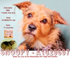 ***OVERLOOKED & STILL waiting for you*** SNOOPY - A1029697 @ the Manhattan NY High-Kill Shelter ** I am a cute little Yorkie boy. The shelter staff thinks I am about 17 MONTH old & I only weigh 17 pounds;✔Pledge✔Tag✔Share STILL NEEDS ✔Rescue✔Foster✔Adopter NOW!!!  On Petharbor: http://www.petharbor.com/pet.asp?uaid=NWYK.A1029697  **NEEDS ✔Rescue✔Foster✔Adopter NOW**  SNOOPY - A1029697  MALE, BLACK / BROWN, YORKSHIRE TERR MIX, 1 yr, 6 mos STRAY - STRAY WAIT, NO HOLD Reason STRAY  Intake Date…