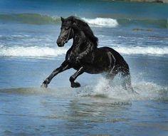 Freisian in the Ocean Cute Horses, Pretty Horses, Horse Love, Beautiful Horses, Animals Beautiful, Black Arabian Horse, Black Horses, Wild Horses, Horse Galloping
