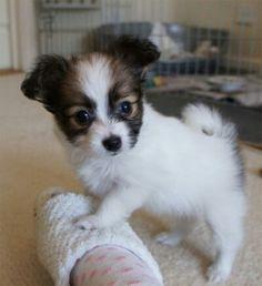 Hendrix Puppy - Crunchie