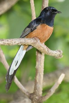 """The """"White-rumped Shama"""" is a small passerine bird of the family Muscicapidae. Native to densely vegetated habitats in the Indian Subcontinent and Southeast Asia, its popularity as a cage-bird and songster has led to it being introduced elsewhere."""