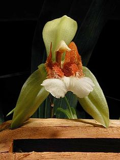 Andy's Orchids - Orchid Species - Coelogyne - speciosa