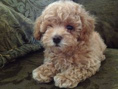 Bichon Frise - Shih Tzu mix, also known as a -Teddy Bear Dog Breed-, 20150513, 3.jpg