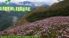 The #Great #Attraction of #Munnar is #Neelakkurinji #Flowers. www.greenleisuretours.com   For inquiries email – info@greenleisuretours.com Call/WhatsApp: +91 9446 111 707 Reach us GreenLeisure Tours & Holidays for any #Kerala #Tour#Packages   Like us & Reach us https://www.facebook.com/GreenLeisureTours for more updates on #Kerala #Tourism #Leisure #Destinations #SiteSeeing#Travel #Honeymoon #Packages #Weekend #Adventure #Hideout