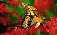 butterfly, wallpaper, gallery