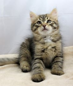 One of our young kittens - www.siberiancat.com