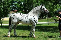 I'll have one of these as well. Draft Horse Breeds, Draft Horses, Leopard Appaloosa, Appaloosa Horses, Big Horses, All About Horses, Noriker Horse, Horse Coat Colors, Horse World