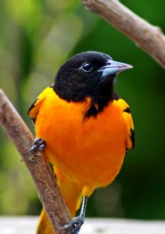 Baltimore Oriole, I feed mine oranges and grape jelly in a litte swing feeder and they will stay for hours.