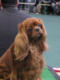 An exquisite ruby cavalier King Charles spaniel..the only color with whom we never were fortunate enough to share our lives!