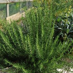 Rosemary Culinary Uses. Can be used to flavour stews, potatoes Can be sprinkled into salad. Flowers are edible. Medicinal Uses. Cold And Cough Remedies, Headache Remedies, Water Retention Remedies, Natural Insecticide, Rosemary Plant, Natural Mosquito Repellant, Allergy Remedies, Mosquito Repelling Plants, Garden Spaces