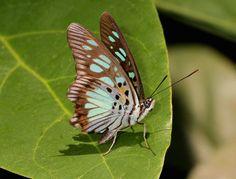 Green False ACRAEA - Pseudacraea semire