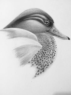 Study sketch green wing teal