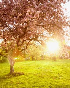 Nature Photography of the morning sun shining through a pink cherry blossom tree with soft green grass in Springbank Park, London, Ontario, Canada. Pink Cherry Blossom Tree, Blossom Trees, Blossoms, Tree Photography, Landscape Photography, Amazing Photography, Photography Tips, Ontario Flowers, Gardens