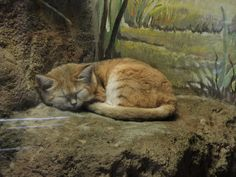 Felis margarita, aka The Sand Cat, At the Erie Zoo.