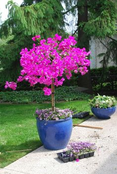 patio plants Bougainvillea, a magical plant that fills backyards, gardens, and our hearts, with amazing colors and images. Bougainvillea is one of the most popular climbing plants in the poorer countries. Patio Plants, Outdoor Plants, Garden Planters, Outdoor Gardens, Container Plants, Container Gardening, Plant Containers, Vegetable Gardening, Exotic Plants