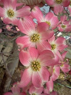 Pink Dogwood Blooms @ Four Seasons Nursery March 2012 Pink Dogwood, Dogwood Trees, Dogwood Flowers, Trees And Shrubs, Flowering Trees, Cake Flowers, Exotic Flowers, Beautiful Flowers, Beautiful Gifts
