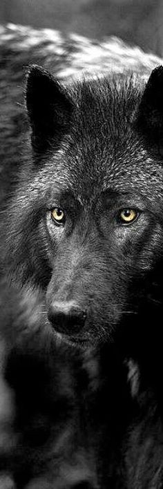 The Black Wolf is a melanistic colour variant of the grey wolf.