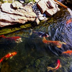Koi fish in our pond