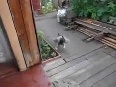 Funny dog fetching a cat, this is amazing and hilarious. How to get your cat inside.
