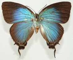 Image result for mithras nautes butterfly images