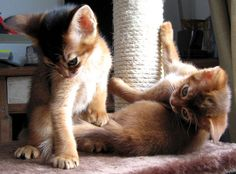 abyssinian kittens by izafree ^