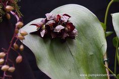 Pleurothallis teaguei from Akerne Orchids at The RHS London Orchid Show. Orchid Show, Black Flowers, Orchids, Pumpkin, London, Rose, Plants, Color, Beautiful