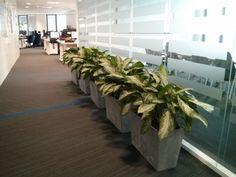 Rośliny do biura Aglonema