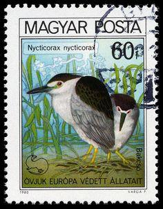 Nycticorax nycticorax, Hungary, 1980