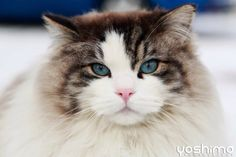 Picture of a Norwegian forest cat.