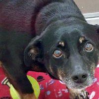 Rescue Animals By Monica Lynn In 2020 Pet Adoption Dachshund