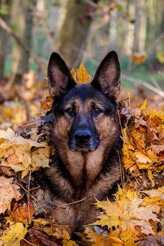 Pastor alemán entre hojas