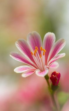 Lewisia pink and white flower single bloom - iphone wallpaper background cell phone screen Flowers Nature, Exotic Flowers, Amazing Flowers, My Flower, Pink Flowers, Beautiful Flowers, Beautiful Gorgeous, Ikebana, Gras