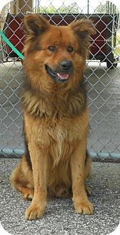 Chow Chow/German Shepherd Dog Mix Dog for adoption in Bunnell, Florida - Chewbacca