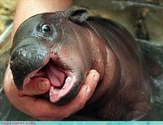 baby - oddly enough this cute little baby hippo looks a little like my english bulldog....so cute :)