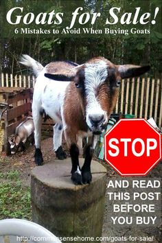 Goats for Sale - 6 Mistakes to Avoid When Buying Goats, Plus Questions to Ask Your Goat Breeder, Red Flags to Watch For, and Reasons to Buy Registered Goats