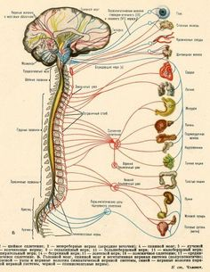 Can pinched nerves in an inflexible spine affect organ function? You bet! So, loosen up. for your health! : ) Informations About Scientific Illustration Pin You can easily use my pro Brain Anatomy, Human Body Anatomy, Human Anatomy And Physiology, Medical Anatomy, Illustrations Médicales, Les Chakras, Medical Information, Body Systems, Physical Therapy