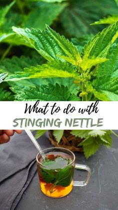 Stinging nettle has its place among our best medicinal plants. #nettlerecipes, #foragingnettle, #stingingnettle, #preservingnettle, #howtoidentifynettle Natural Health Remedies, Herbal Remedies, Nettle Recipes, Herbs Garden, Natural Parenting, Grow Your Own Food, Growing Herbs, Alternative Health, Medicinal Plants