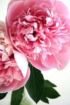 Pink ~ Peony  such a wonderful fragrance love to bring them in the house, but the ants!