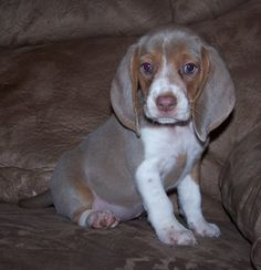 Lilac beagle -> Never knew there was such a thing! So precious!