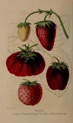 La Belgique horticole : Annales de botanique et d'horticulture t.2 Liége :[s.n.]