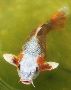 Koi Carp by corrieb, via Flickr