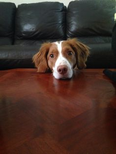 Brittany spaniel I've got one at home so I could pin pics of these pups all day