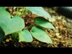 Plant Files: Hosta from HGTV The  Garden Girl --Patti Moreno
