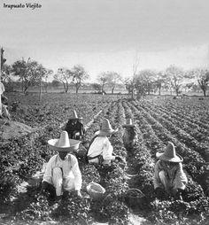 Campesinos cosechando fresas en 1901 en Irapuato Guanajuato , Mexico