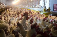 Most people are better off not knowing how the chicken they buy at the supermarket is raised and processed. Knowing that information would make people swear off eating meat for the rest of their lives. But new regulations aren't going to improve things.
