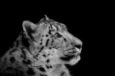 Photo Snow Leopard by Ryan  Mooney on 500px