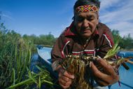Gary Raven of the Ojibwa First Nation in Hollow Water, Manitoba, Canada, harvesting cat tail root, a traditional medicine. (Photo by Peter Essick/Aurora/Getty Images)